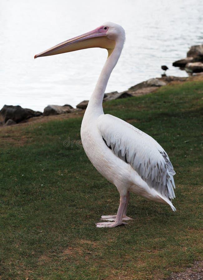 Grote witte pelikaan stock foto's