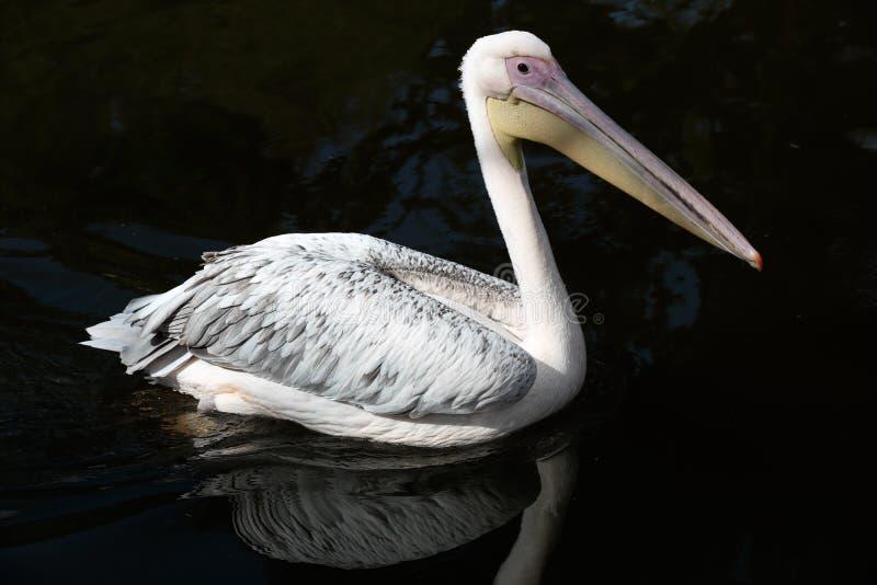 Grote witte pelikaan royalty-vrije stock afbeelding