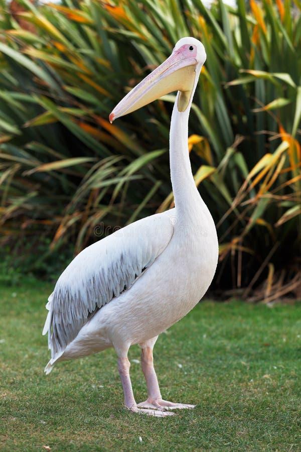 Grote witte pelikaan royalty-vrije stock afbeeldingen