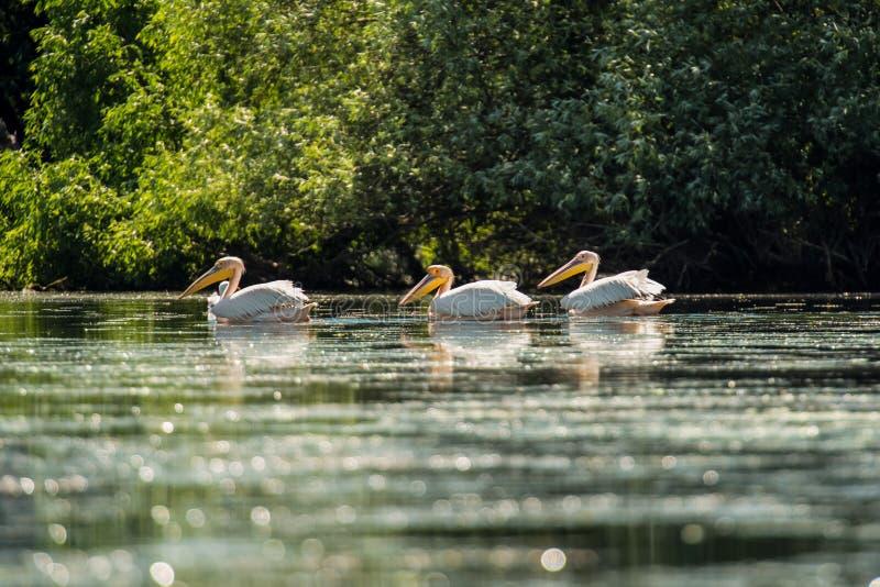 Grote witte pelikaan die over water drijven royalty-vrije stock afbeeldingen