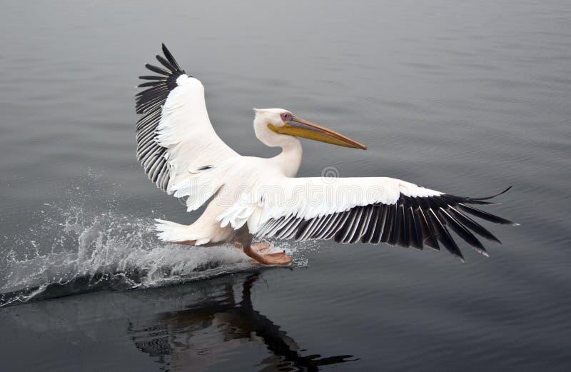 Grote Witte Pelikaan - Namibië