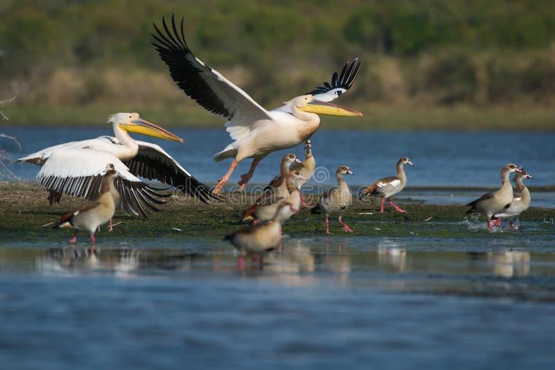 Grote Witte Pelikaan Zuid-Afrika royalty-vrije stock afbeelding