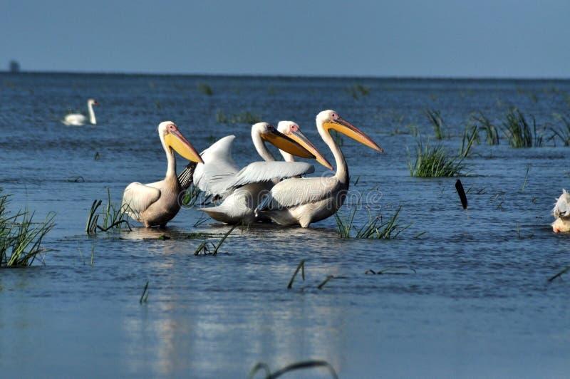 Grote witte pelikanen in de Delta van Donau