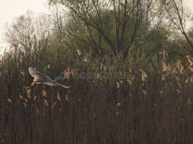 Grote witte reiger die in bies vliegen royalty-vrije stock afbeelding