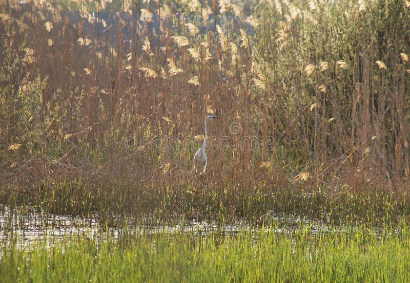 Grote witte reiger in sunleght royalty-vrije stock foto