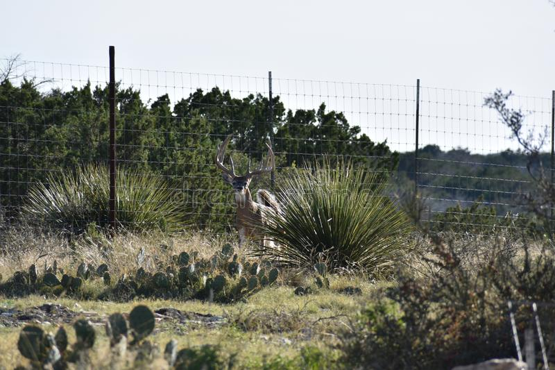 Grote Witte Staart Buck Deer stock foto's