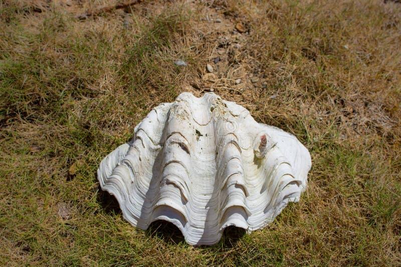 Grote witte zeeschelp in gras Oude shell close-up Het tropische leven Marien detail Grote kroonslak op kust stock afbeeldingen