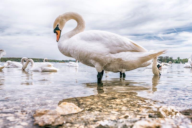 Grote witte zwaan stock foto
