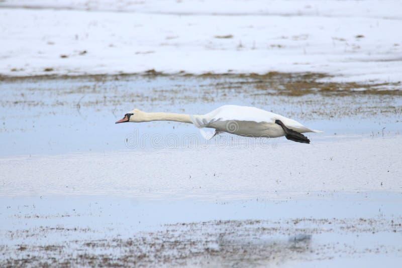Grote witte zwaan die voor vlucht opstijgen royalty-vrije stock afbeeldingen