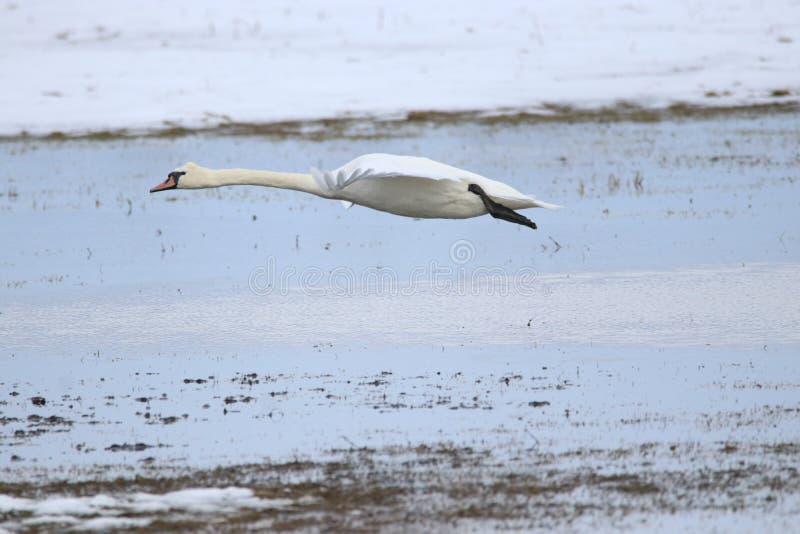 Grote witte zwaan die voor vlucht opstijgen stock fotografie
