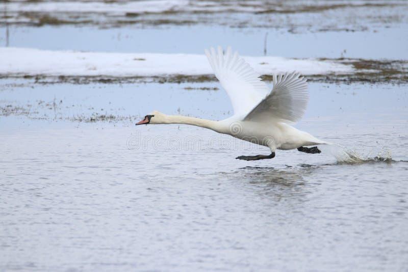 Grote witte zwaan die voor vlucht opstijgen terwijl het lopen op water stock foto