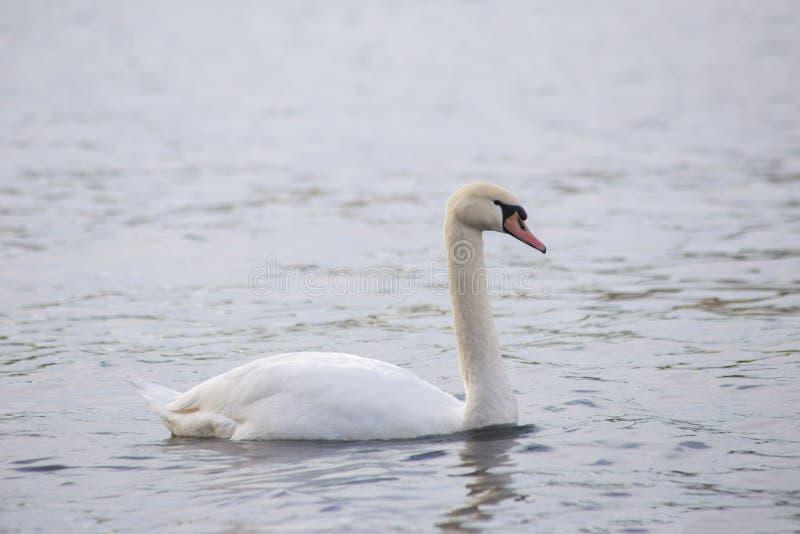 Grote witte zwaan op het water stock afbeelding