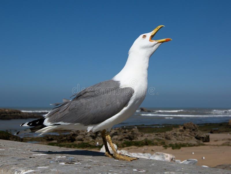 Grote zeemeeuw dichte omhooggaand stock fotografie