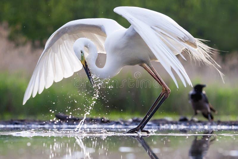 Grote Zilverreiger, grande Egret ocidental, alba alba do Ardea fotografia de stock royalty free