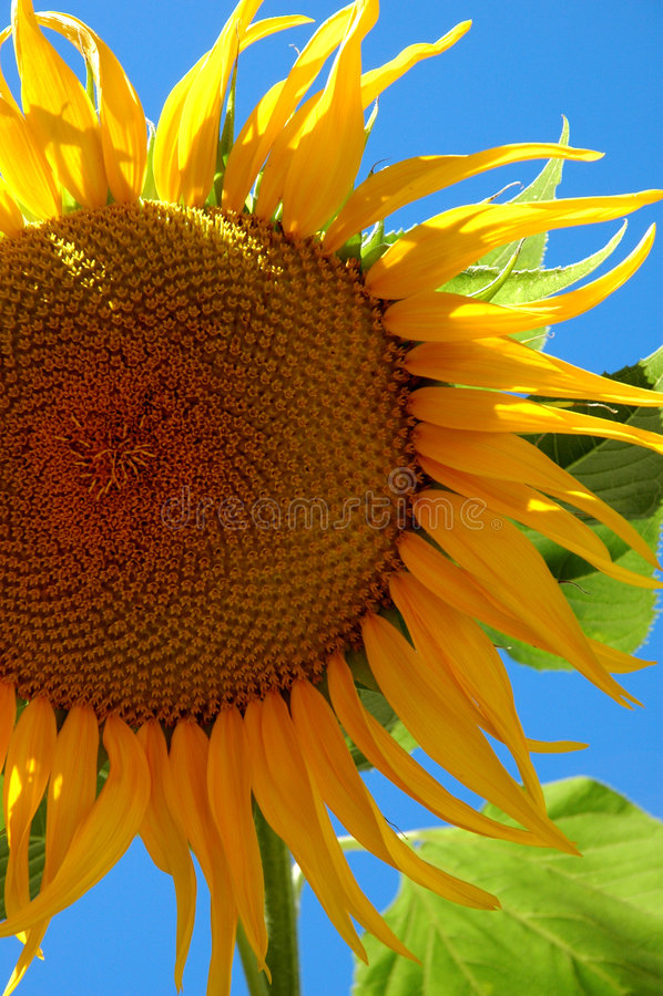 Grote Zonnebloem stock afbeeldingen