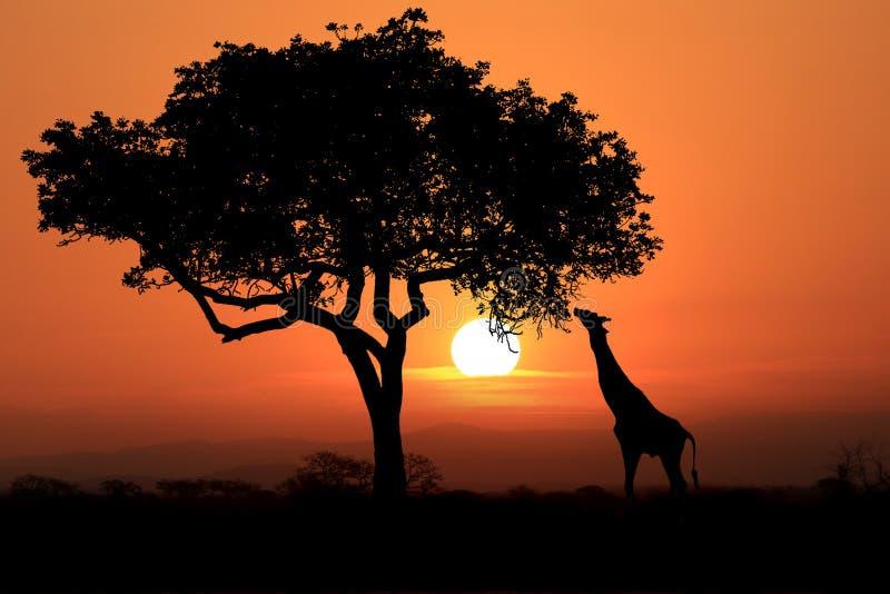 Grote Zuidafrikaanse Giraffen bij Zonsondergang in Afrika royalty-vrije stock afbeeldingen