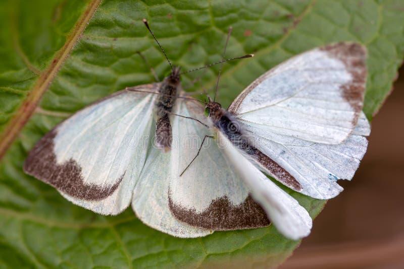Grote zuidelijke witte vlinder twee in verschillende stappen van vrijage III stock foto