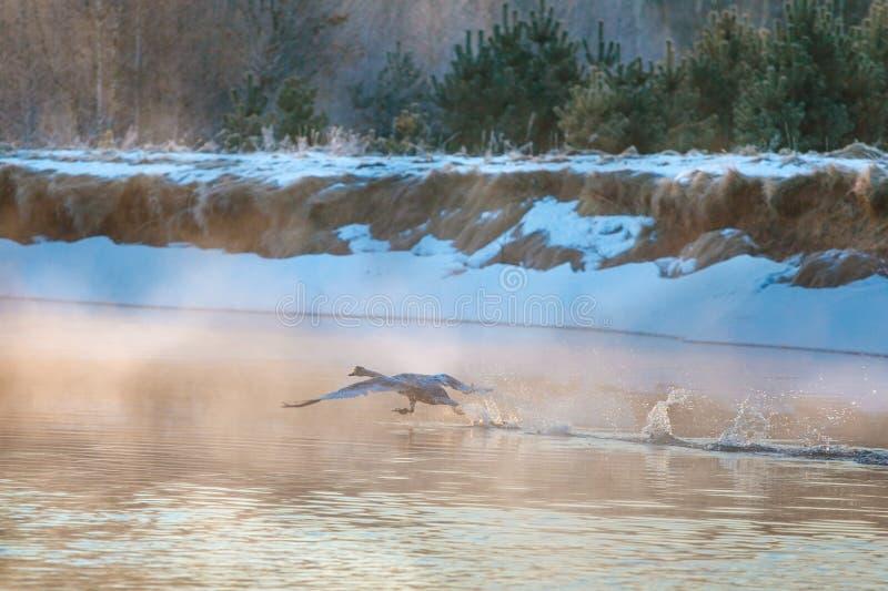 Grote zwaan die op waterspiegel bij dageraad loopt royalty-vrije stock afbeelding