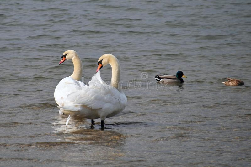 Grote zwaan twee in het water van een meer royalty-vrije stock foto
