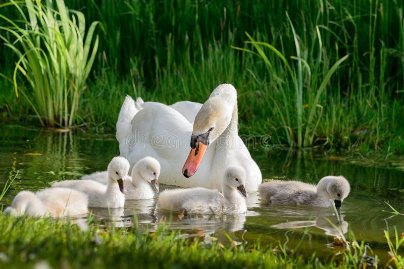 Grote zwaanfamilie royalty-vrije stock foto