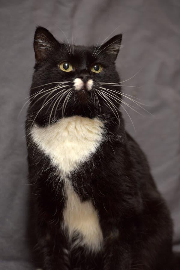 Grote zwart-witte kat stock foto
