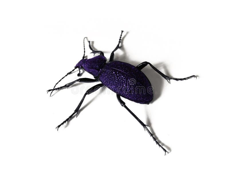 Grote zwarte en violette kever die op witte achtergrond wordt geïsoleerd stock fotografie