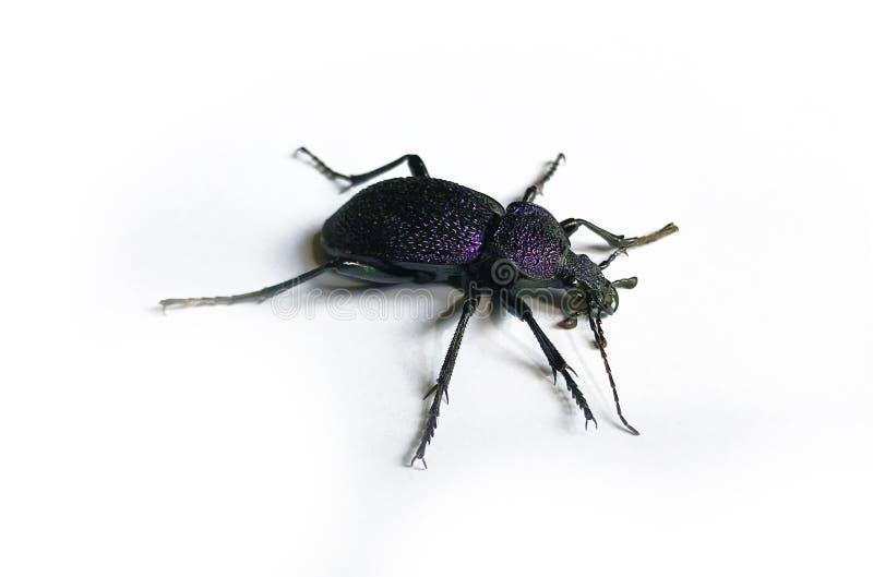 Grote zwarte en violette kever die op witte achtergrond wordt geïsoleerd royalty-vrije stock foto's