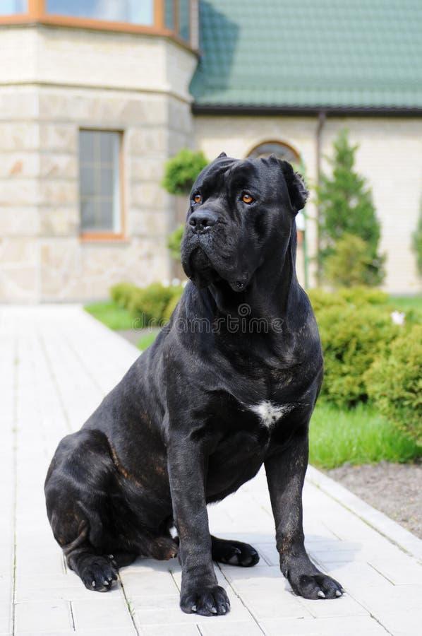 Grote zwarte hond in eigen werf royalty-vrije stock foto