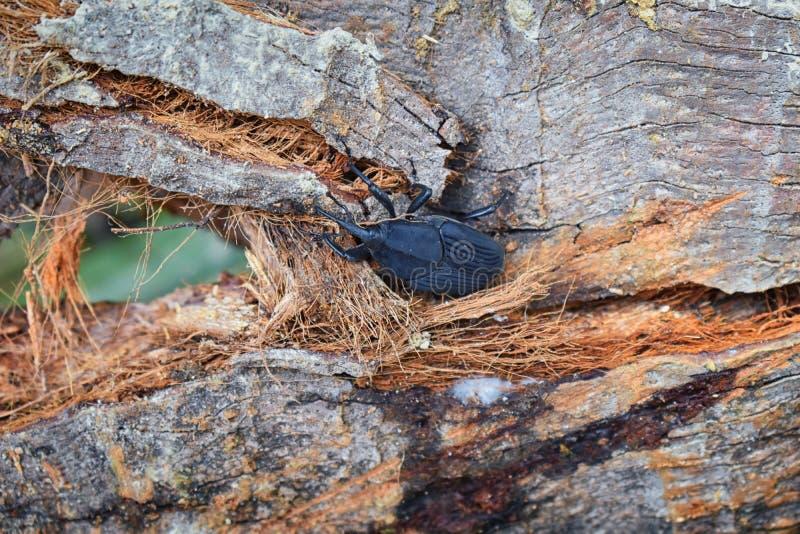 Grote Zwarte Kever die bij het rotten login Gr Eden, de Wildernisweg van Puerto Vallarta in Macro, gedetailleerde mening in Mexic royalty-vrije stock fotografie