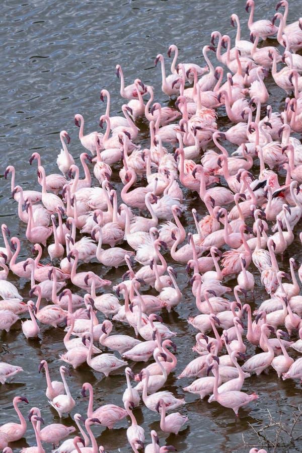 Groter en Lesser Flamingos, Meer Bogoria, Kenia, Afrika stock fotografie