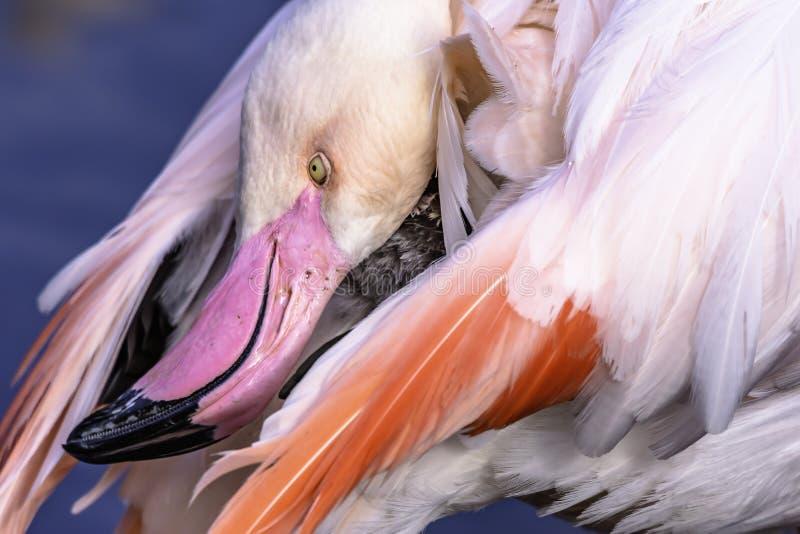 Groter flamingo dicht omhooggaand portret met verdraaid hoofd die zijn staart bereiken royalty-vrije stock foto