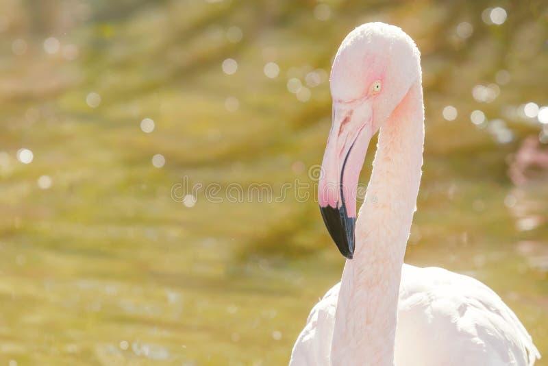 Groter flamingoportret, Roze roseus van Phoenicopterus van het Flamingoportret royalty-vrije stock fotografie