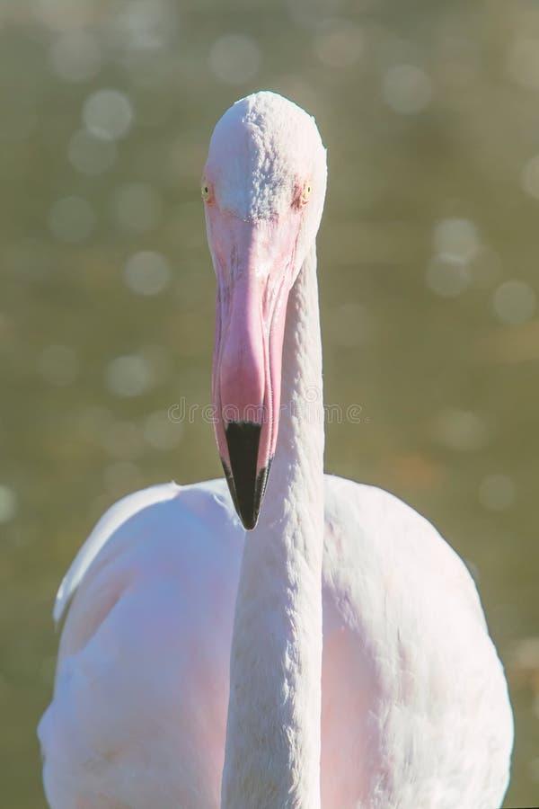 Groter flamingoportret, Roze roseus van Phoenicopterus van het Flamingoportret royalty-vrije stock afbeeldingen