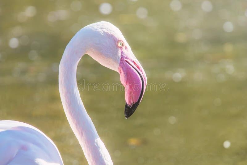 Groter flamingoportret, Roze roseus van Phoenicopterus van het Flamingoportret royalty-vrije stock afbeelding