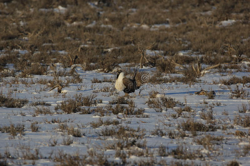Groter Sage Grouse royalty-vrije stock foto