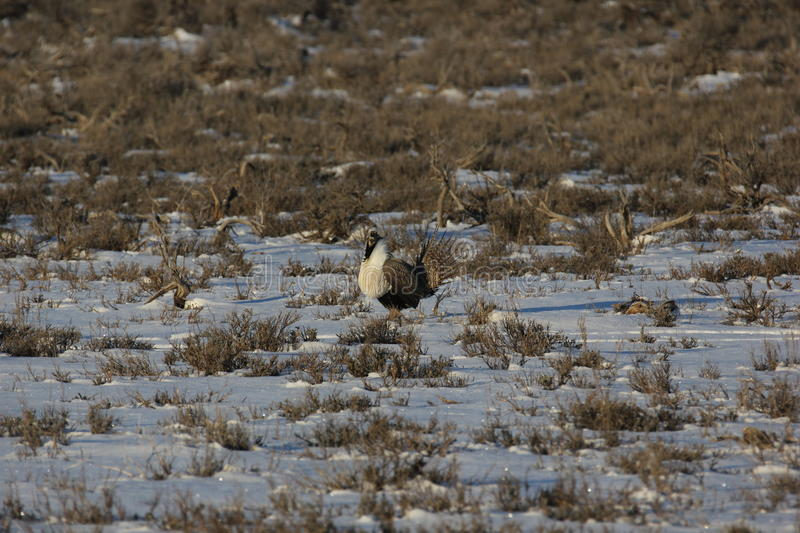Groter Sage Grouse stock foto's