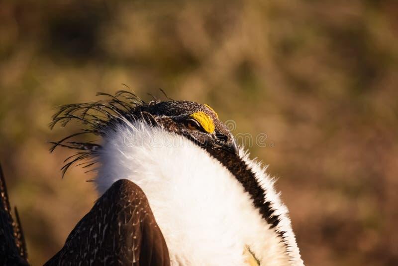Groter Sage Grouse Beautiful Detail Ruff en Hoofdgevederte stock afbeelding