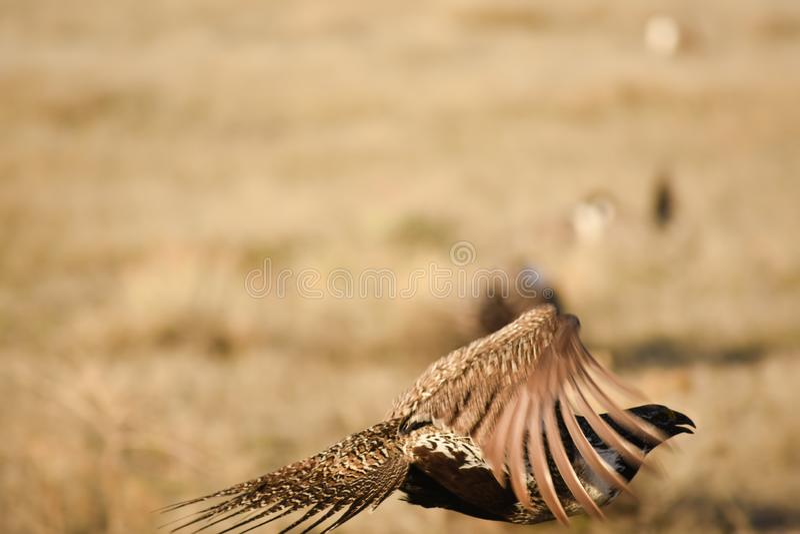 Groter Sage Grouse In Flight Silhouette met Lek Blurry Background stock fotografie