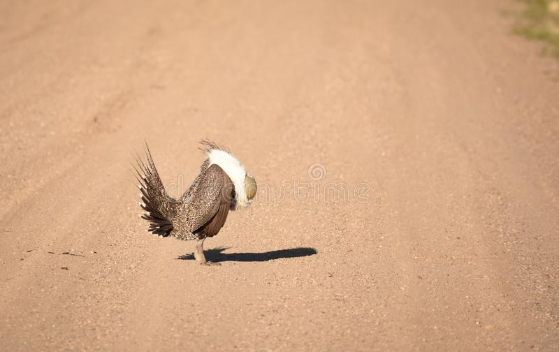 Groter Sage Grouse Strutting Across The-Road royalty-vrije stock afbeelding