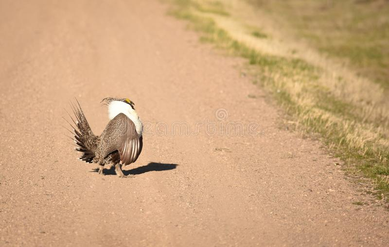 Groter Sage Grouse Strutting Across The-Road stock foto's