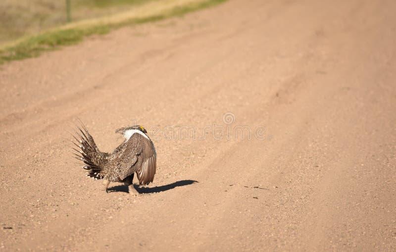 Groter Sage Grouse Strutting Across The-Road stock afbeeldingen