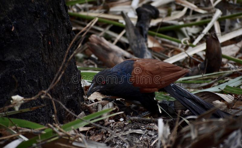 Grotere coucal royalty-vrije stock afbeelding