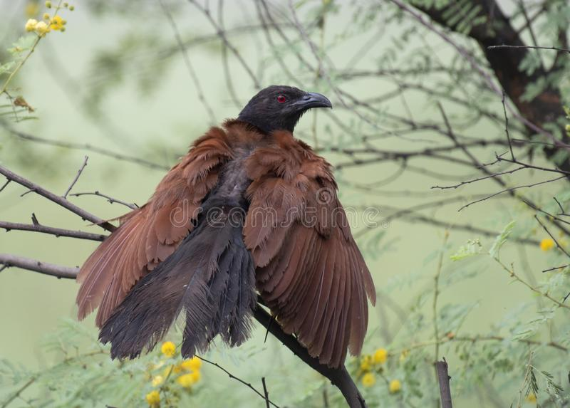 Grotere coucal stock afbeelding