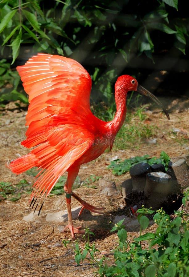 Grotere flamingo royalty-vrije stock fotografie