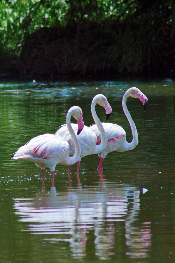 Grotere flamingo stock foto