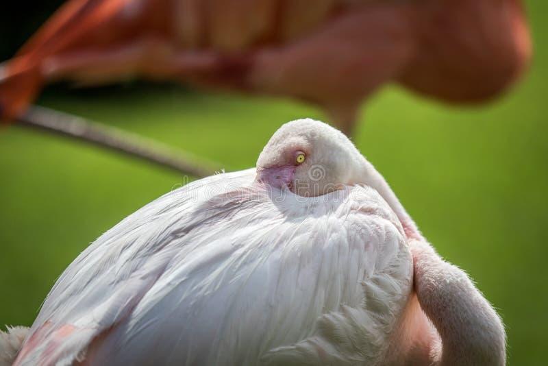 Grotere flamingo die schoonmaken royalty-vrije stock foto's