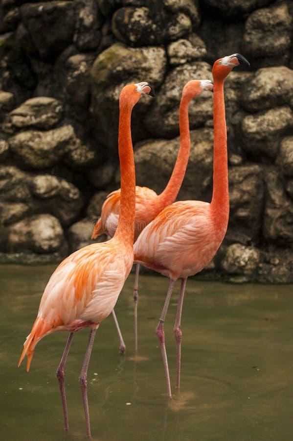 Grotere Grotere Flamingo - een groep van 3 in ondiep water royalty-vrije stock foto