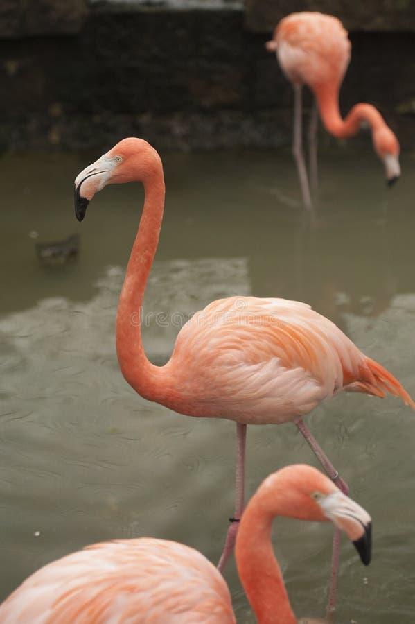 Grotere Grotere Flamingo - een groep van 3 in ondiep water royalty-vrije stock afbeeldingen