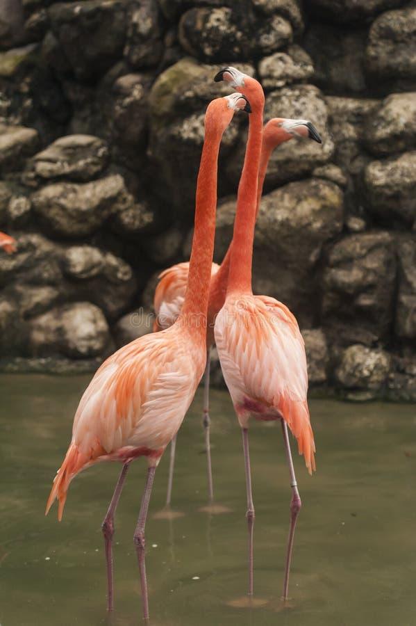 Grotere Flamingo - een groep van 3 in ondiep water royalty-vrije stock afbeeldingen