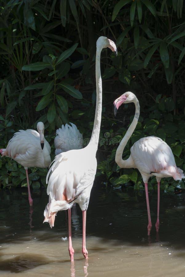 Grotere Flamingo, mooie roze grote vogel in water stock afbeelding
